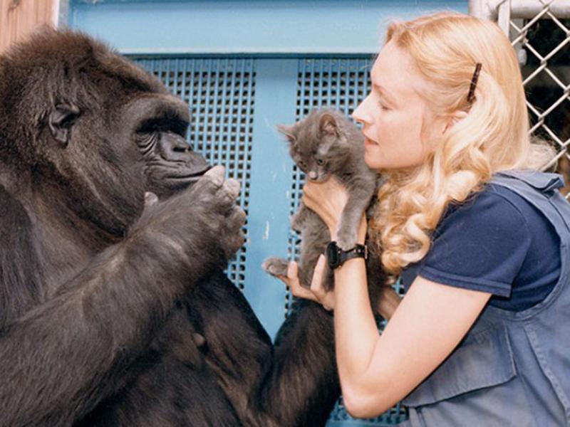 Murió Koko, la famosa gorila que dominaba el lenguaje de señas